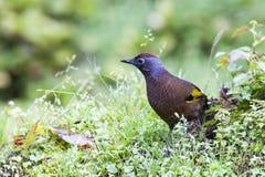 美丽的鸟马来亚笑鹅口疮寻找食物 免版税库存照片