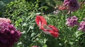 美丽的鸦片在庭院股票英尺长度录影增长 影视素材