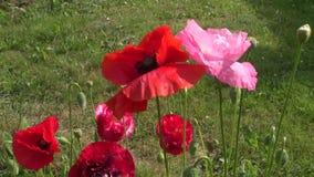 美丽的鸦片开花在夏天庭院里