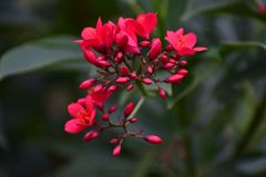 美丽的鸦片红色花 免版税库存图片