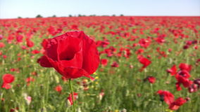 美丽的鸦片花