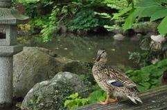 美丽的鸭子俯视的水 免版税库存图片