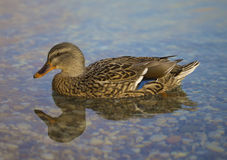 美丽的鸭子妇女 图库摄影