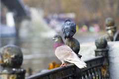 美丽的鸽子在公园 库存图片