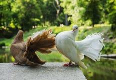 美丽的鸽子在公园 库存照片