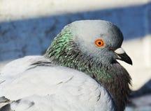 美丽的鸽子 免版税库存照片