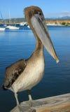 美丽的鹈鹕 免版税库存图片