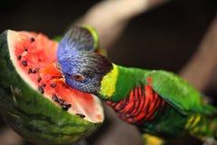 美丽的鹦鹉 免版税库存图片