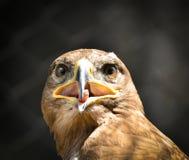 美丽的鹫画象 免版税库存图片