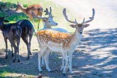 美丽的鹿在夏天 免版税库存图片