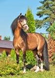 美丽的鹿皮威尔士小马公马 库存图片