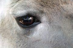 美丽的鹿眼睛,特写镜头 库存照片