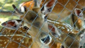 美丽的鹿Bambi 影视素材