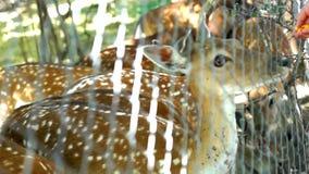 美丽的鹿Bambi 股票视频