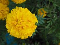 美丽的黄色万寿菊花 库存图片
