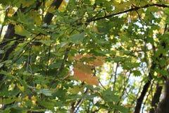 美丽的黄色叶子装饰秋天槭树 免版税库存图片