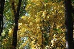 美丽的黄色叶子装饰秋天槭树 库存图片