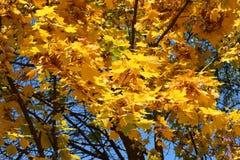 美丽的黄色叶子装饰秋天槭树 图库摄影