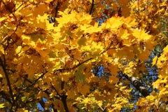 美丽的黄色叶子装饰秋天槭树 免版税库存照片