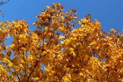 美丽的黄色叶子装饰秋天槭树 库存照片