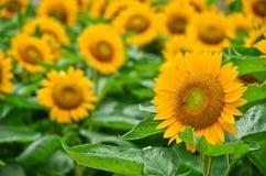 美丽的黄色向日葵特写镜头 免版税库存照片