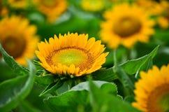 美丽的黄色向日葵特写镜头 库存图片