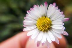 美丽的黄色和白色延命菊的特写镜头 图库摄影
