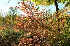 美丽的黄色和红色叶子装饰秋天树 免版税库存照片