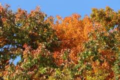 美丽的黄色和红色叶子装饰秋天树 库存照片