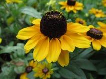 美丽的黄色太阳帽子花,花草甸 库存图片