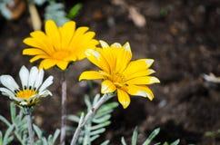 美丽的黄色杂色菊属植物rigens植物在春季的一张花床上增长在一个植物园 免版税库存图片