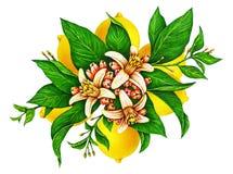 美丽的黄色柠檬果子的巨大例证在一个分支的与在白色背景和花隔绝的绿色叶子 皇族释放例证