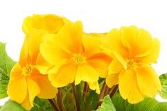 美丽的黄色樱草属花 库存照片