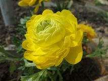 美丽的黄色波斯毛茛花,开花,花 免版税库存照片