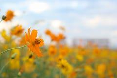 美丽的黄色波斯菊花园 免版税库存照片