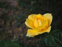 美丽的黄色玫瑰在一个绿色庭院里 免版税图库摄影
