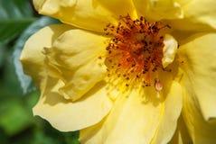 美丽的黄色玫瑰花在庭院里 免版税库存图片
