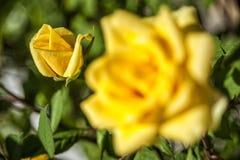 美丽的黄色玫瑰花蕾 库存图片