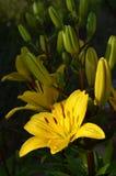 美丽的黄色百合一个绿色庭院 库存图片