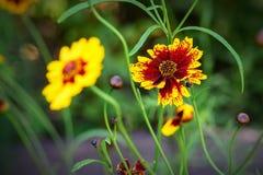 美丽的黄色花在庭院里在夏天 库存照片