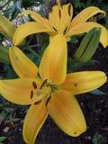 美丽的黄色花在庭院里 库存图片