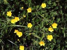 美丽的黄色花在草甸 库存照片