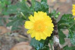 美丽的黄色花宏指令爱季节或情人节背景、露滴或者水下落的在花 库存照片