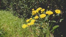 美丽的黄色花的特写镜头图象 库存照片