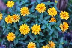 美丽的黄色花,深绿叶子自然背景,凉快的时间的特写镜头图片 库存照片