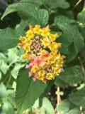美丽的黄色花,类似于太阳 免版税图库摄影