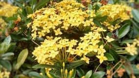 美丽的黄色花ixora coccinea在庭院里 免版税库存图片