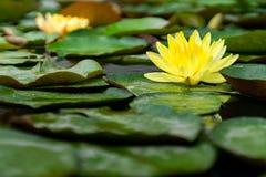 美丽的黄色莲花在充分池塘绿色叶子 库存照片