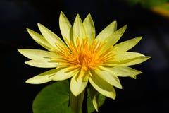 美丽的黄色莲花 库存照片