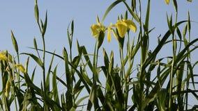 美丽的黄色虹膜花接近的看法  虹膜'Pseudacornus'黄旗